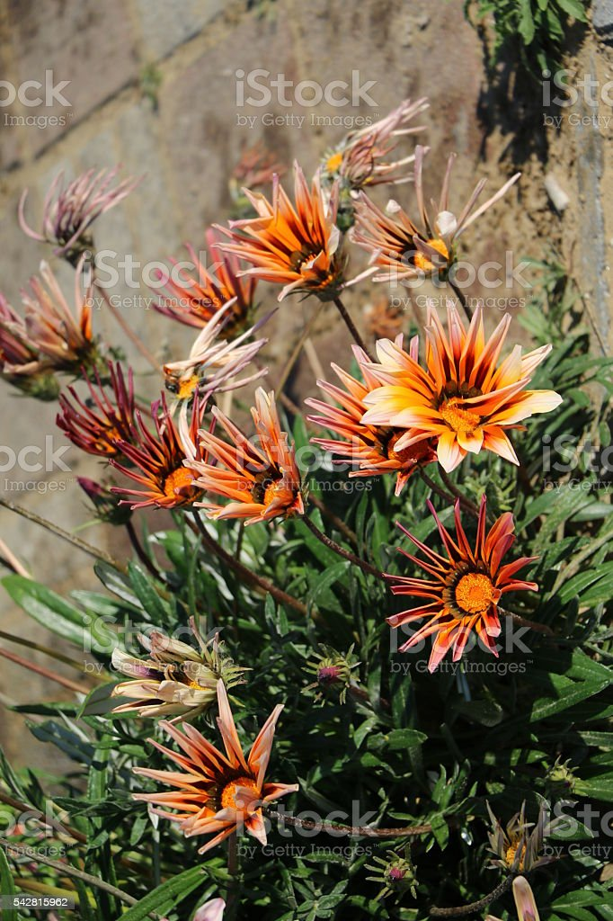 Flowers of Gazania 'Magic' in summer stock photo