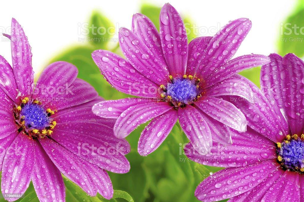 Flowers of Gazania with drops. (Splendens genus asteraceae) royalty-free stock photo