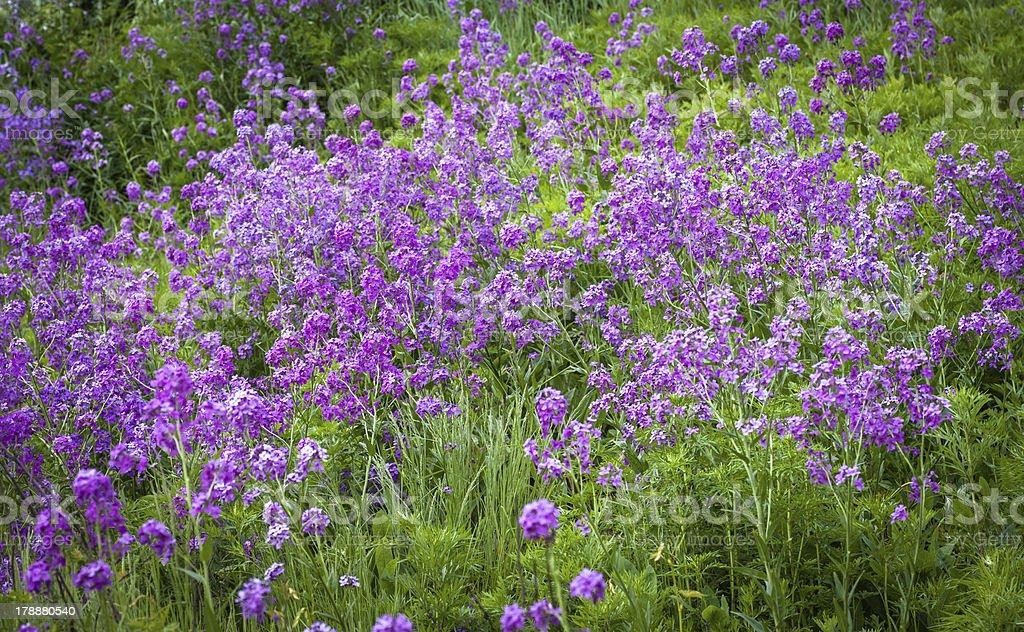 Flowers of Hesperis Matronalis. royalty-free stock photo