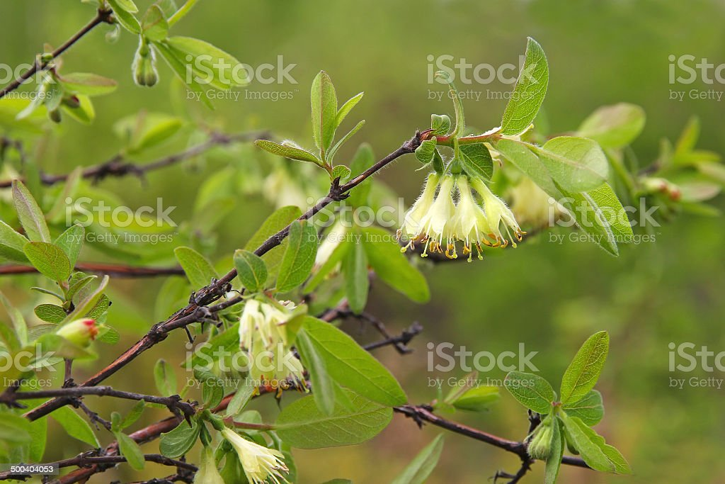 flowers of honeysuckle royalty-free stock photo