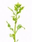 flowers of horseradish