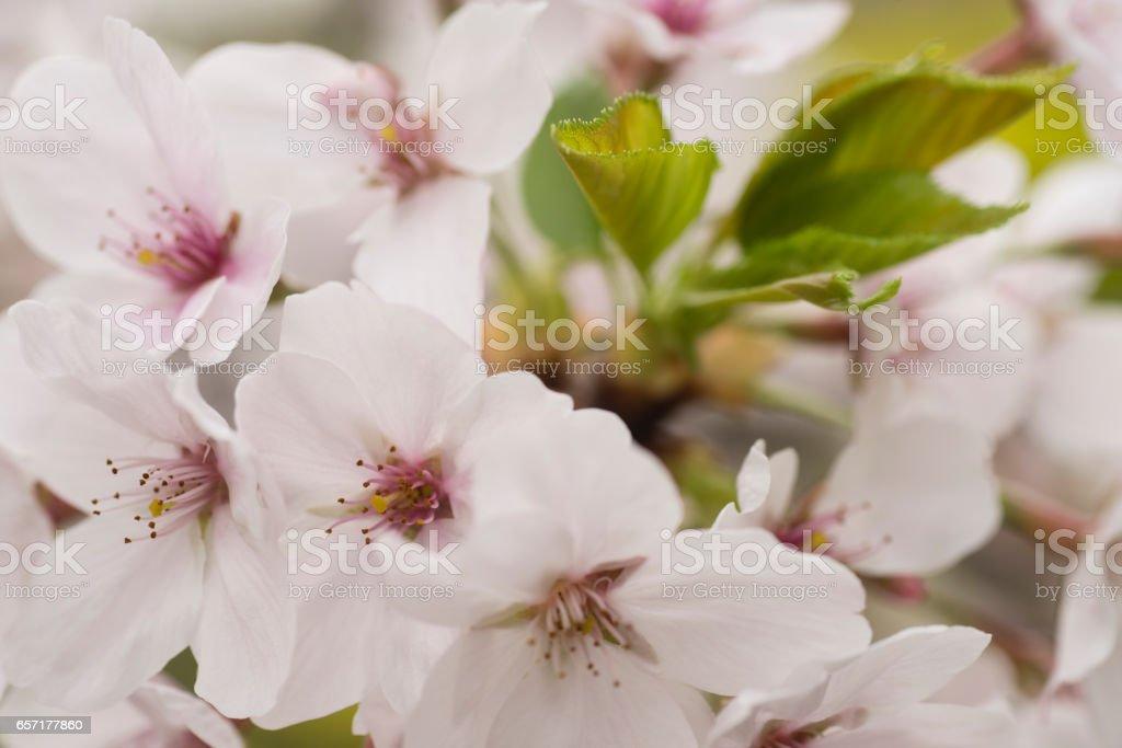 Flowers of japanese cherry tree stock photo