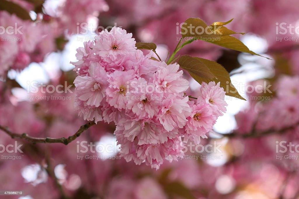 Flowers of Japanese Sakura Cherry (Prunus serrulata) stock photo