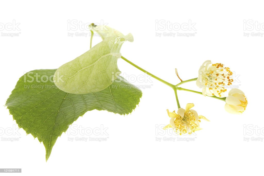 Flowers of linden tree royalty-free stock photo