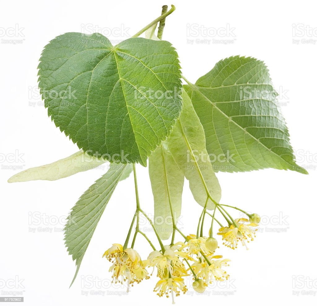 Flowers of linden-tree on a white background royalty-free stock photo