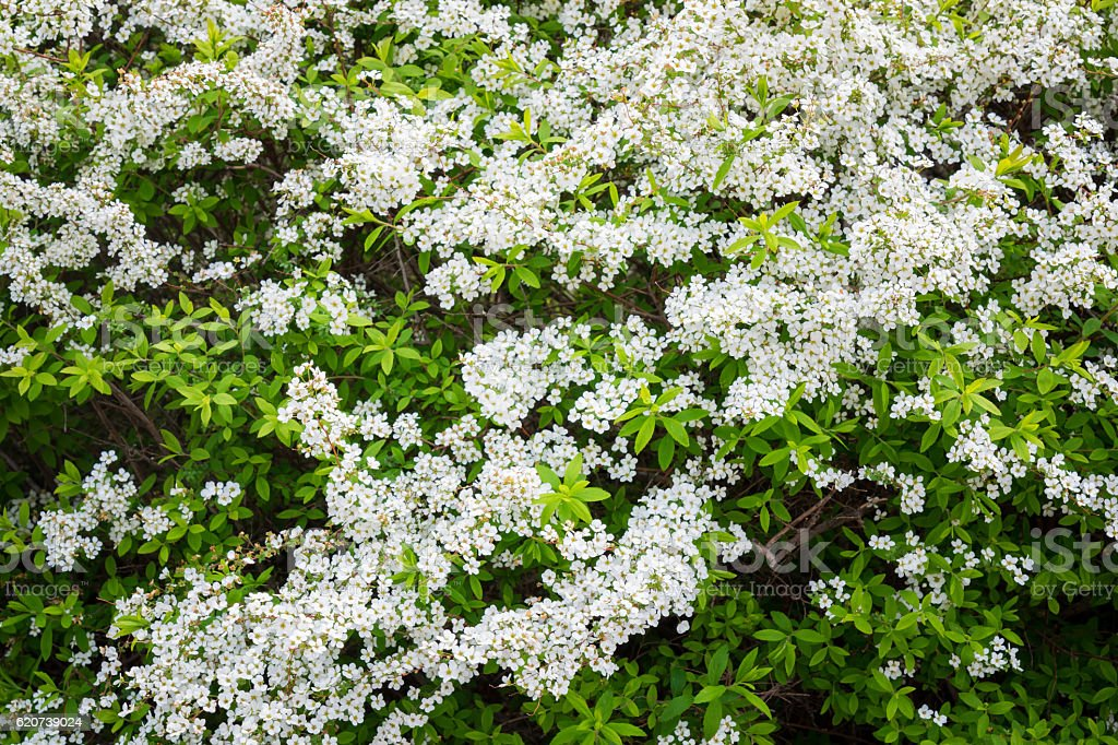 flowers of Lobularia maritima called Alyssum maritimum. stock photo