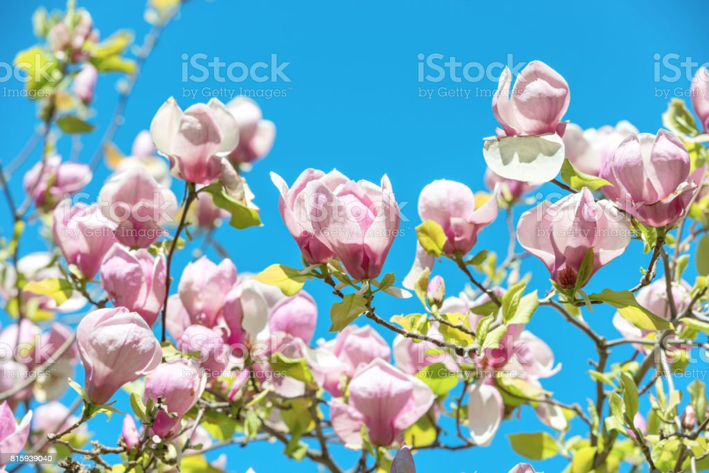 Flowers of Magnolia soulangiana stock photo