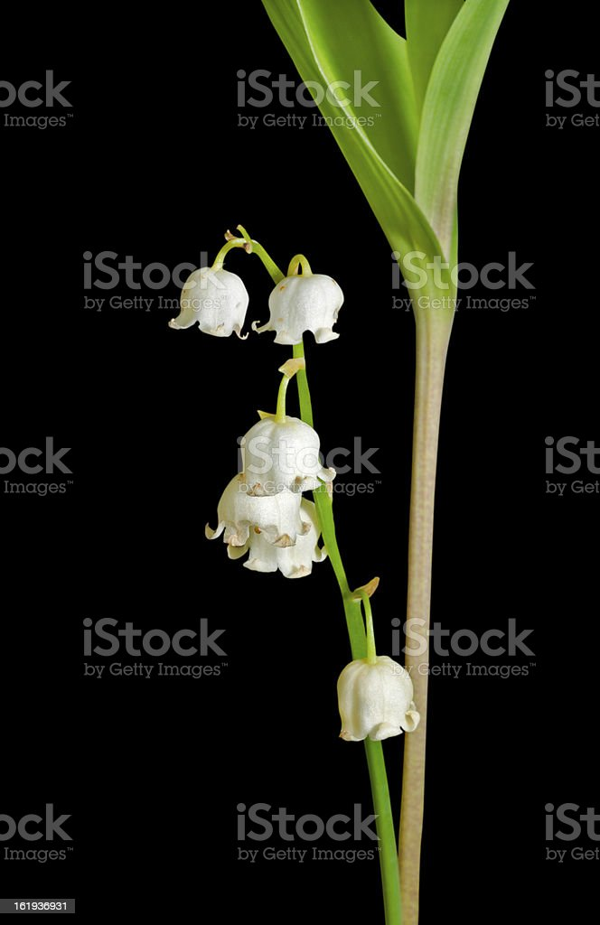 Flowers of May lily royalty-free stock photo
