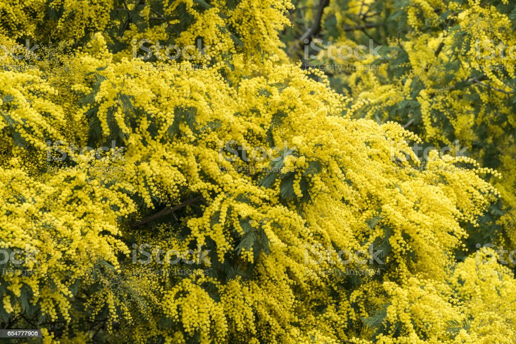 Flowers of mimosa in a tree stock photo