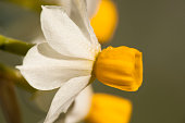 Flowers of Narcissus tazetta