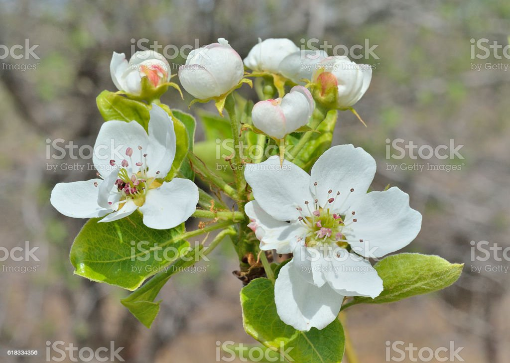 Flowers of pear stock photo