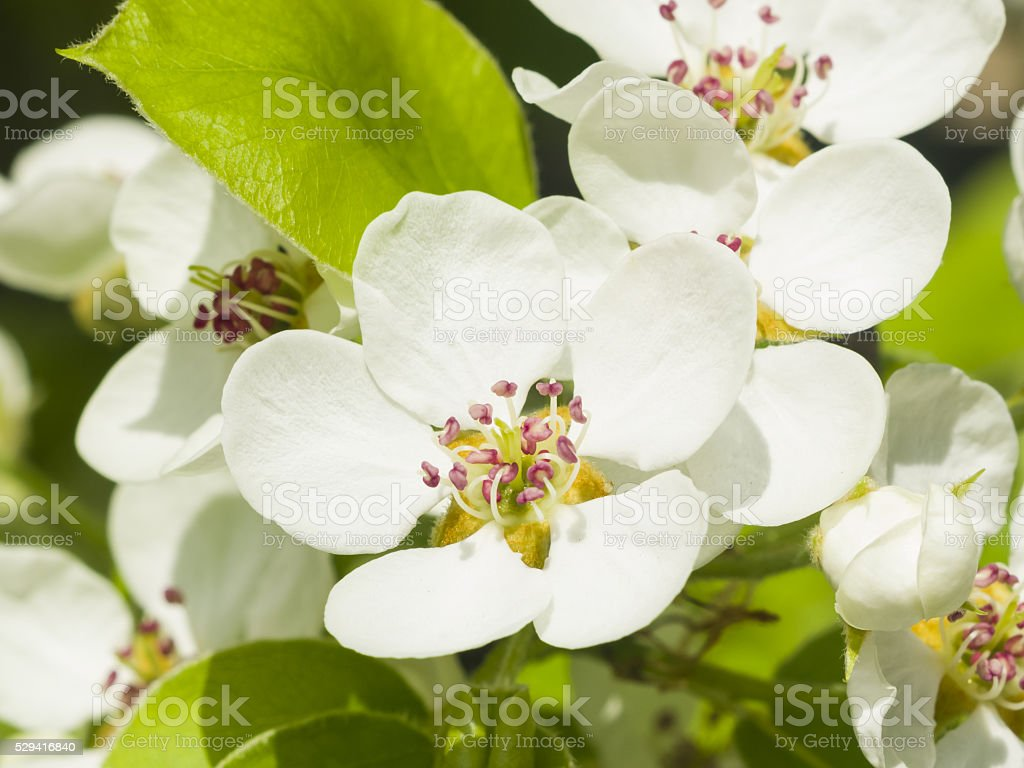 Flowers of Pear Tree, Pyrus communis, with leaves, close-up stock photo