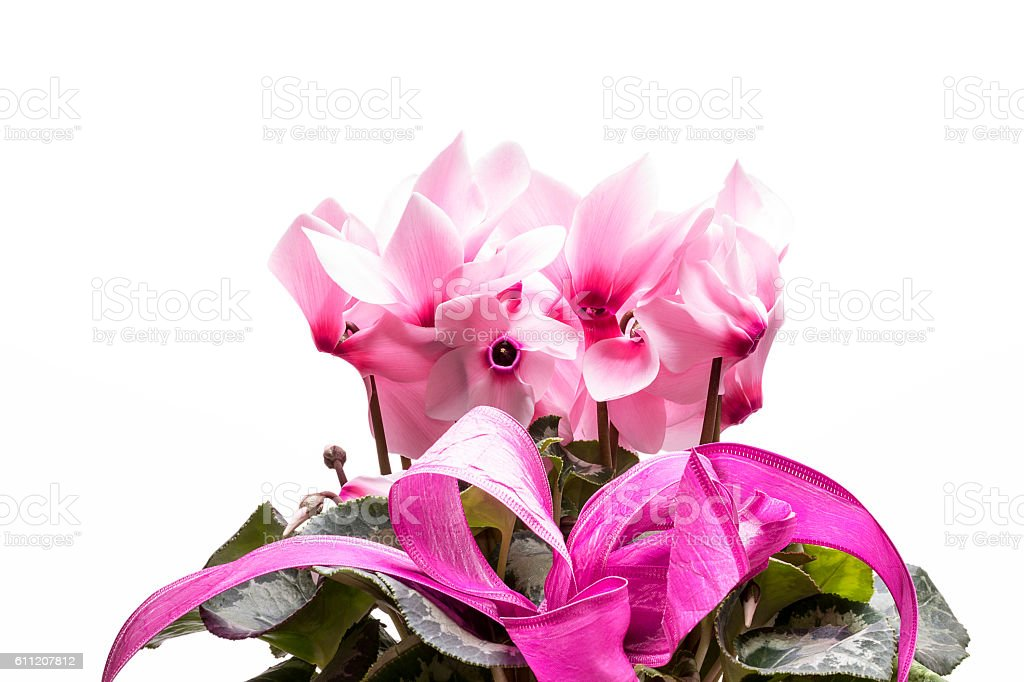 flowers of pink cyclamen isolated on white background, close up stock photo