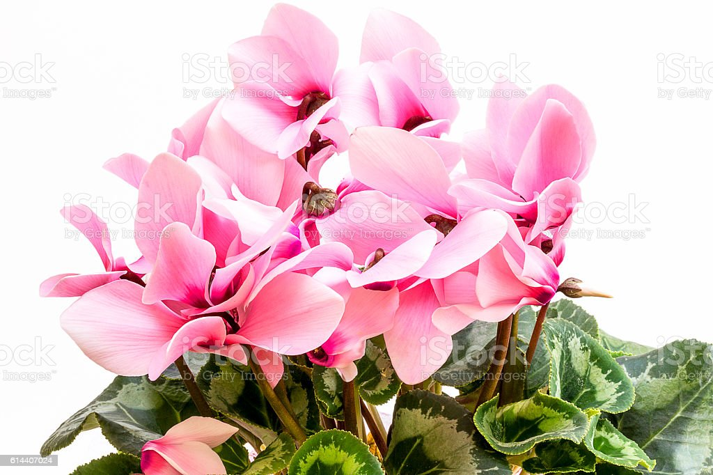 Flowers of pink cyclamen isolated on white background stock photo