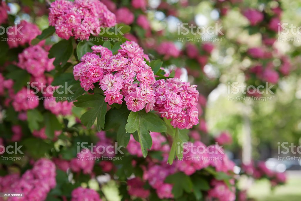 flowers of pink polypetal crataegus stock photo