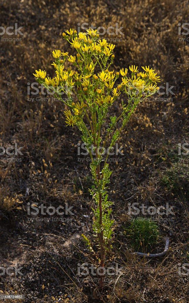 Flowers of Ragwort (Senecio Jacobaea) stock photo