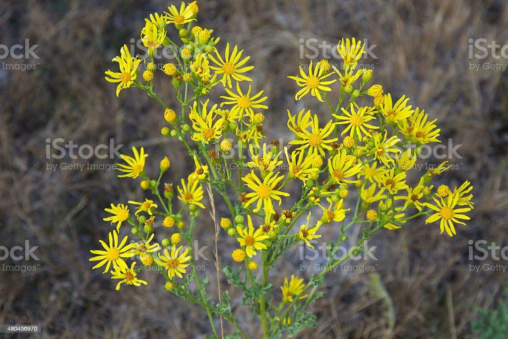 Flowers of Ragwort ( Senecio Jacobaea ) stock photo