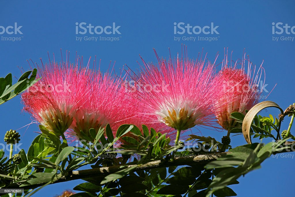 Flowers of rain tree. (Samanea saman (Jacq.)) stock photo