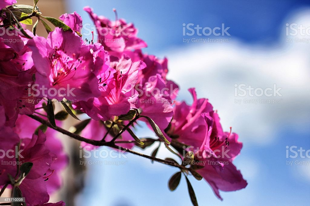 Flowers of Rome royalty-free stock photo