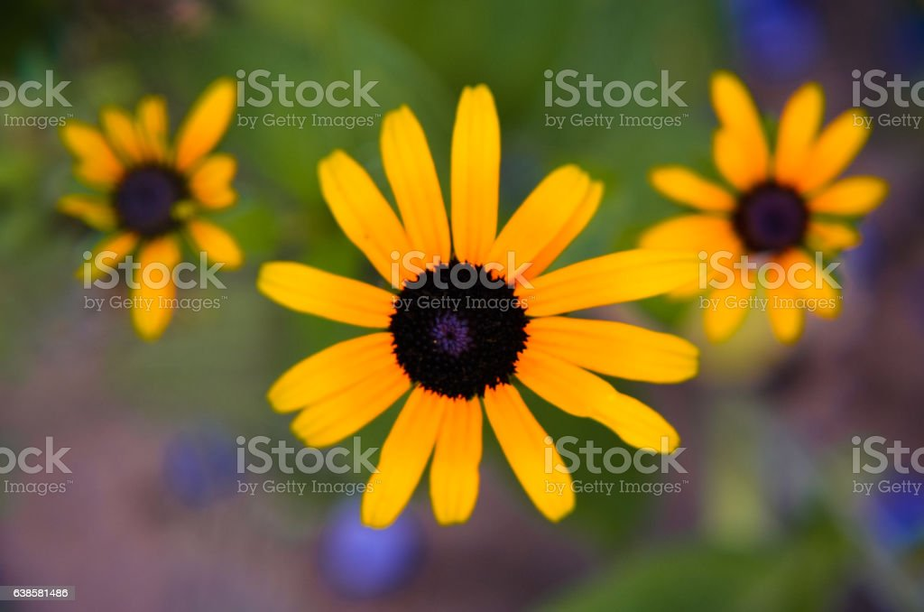 flowers of rudbeckia  close up stock photo