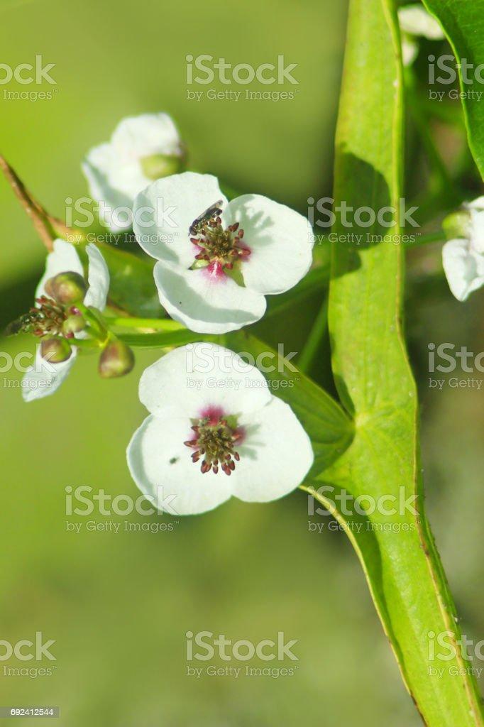 flowers of Sagittaria stock photo