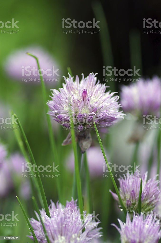 flowers of some allium with butterfly royalty-free stock photo