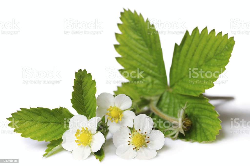 flowers of strawberry royalty-free stock photo