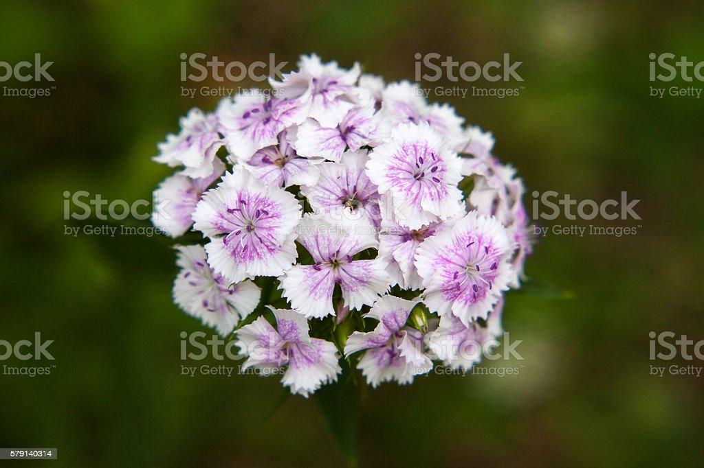 Flowers of Sweet william stock photo