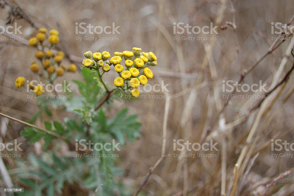 flowers of tansy stock photo