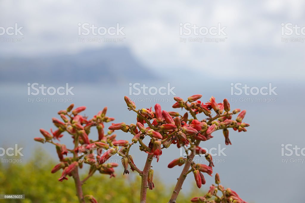 Flowers of the Butter Tree (Tylecodon paniculatus) stock photo