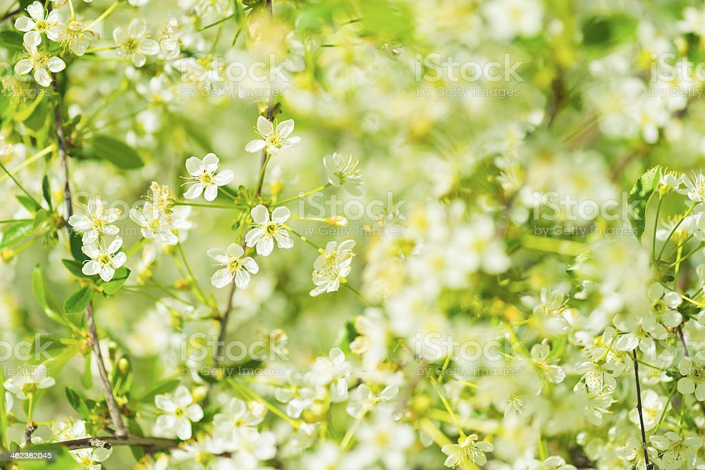 Flowers of the cherry blossoms on a spring day stock photo