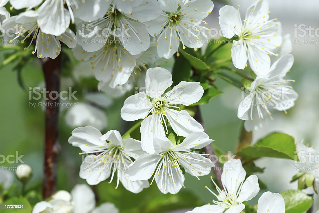Flowers of the cherry blossoms royalty-free stock photo