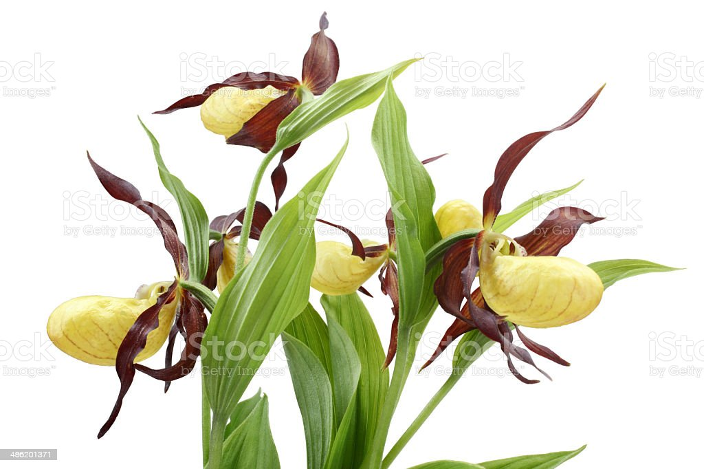 Flowers of the Cypripedium calceolus stock photo