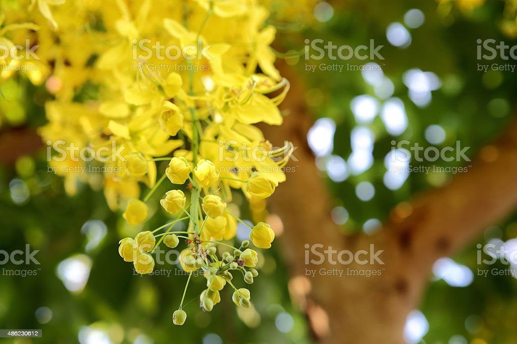 Flowers of the Golden Rain Tree close-up stock photo