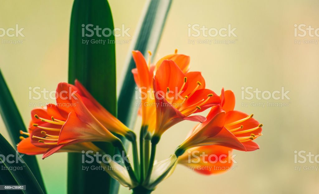 Flowers of the kaffir lilly plant. A flowering head of Clivia miniata (also known as Natal lily, bush lily, Kaffir lily). stock photo