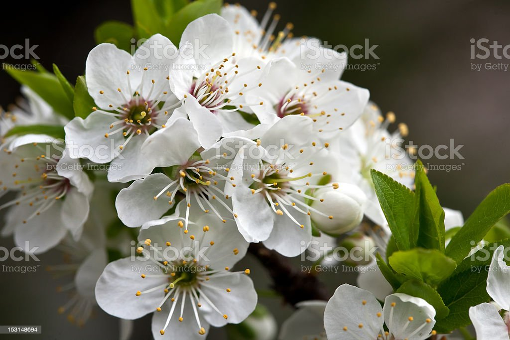 flowers of the plum blossom royalty-free stock photo