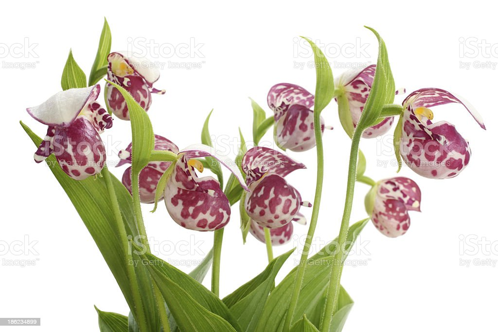 Flowers of the Spotted Lady's Slipper (Cypripedium guttatum) stock photo