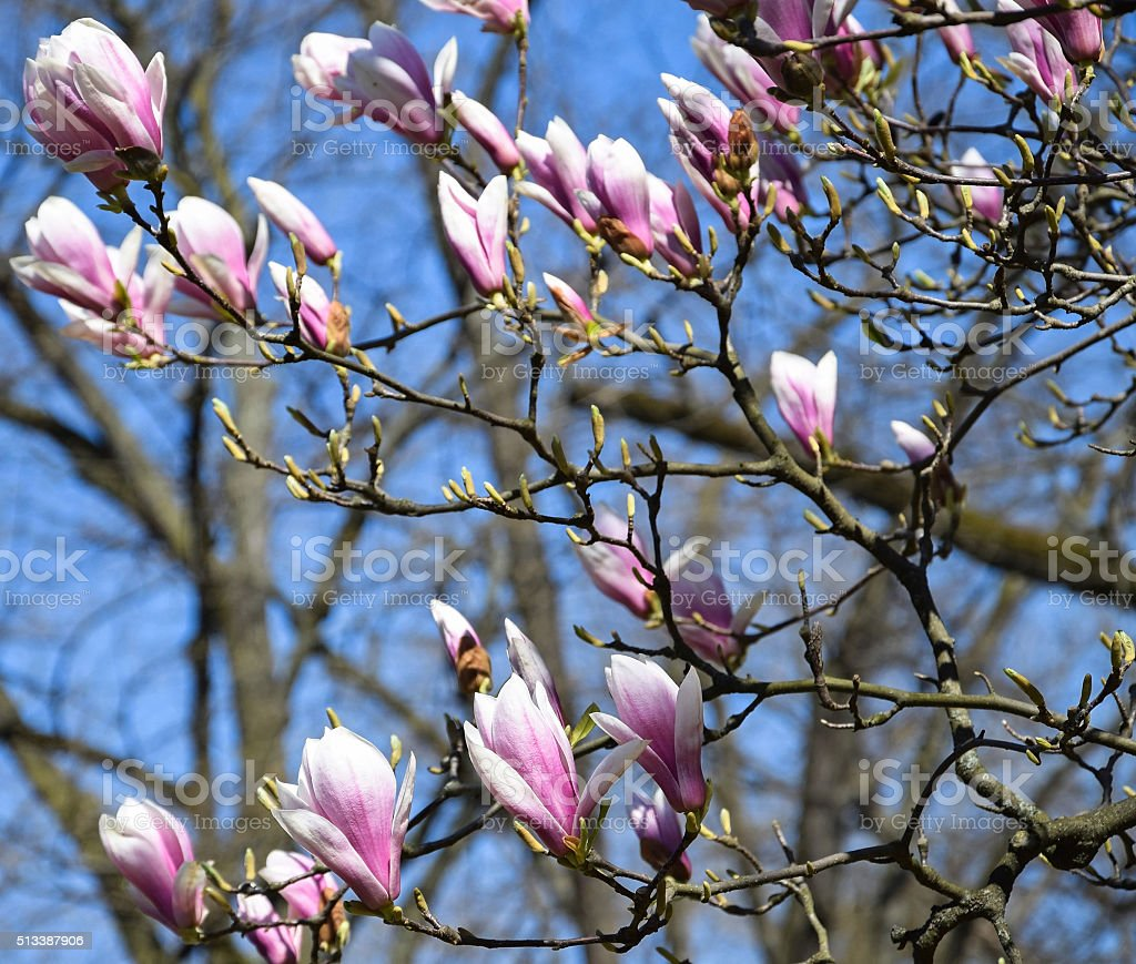 Flowers of the tulip tree stock photo