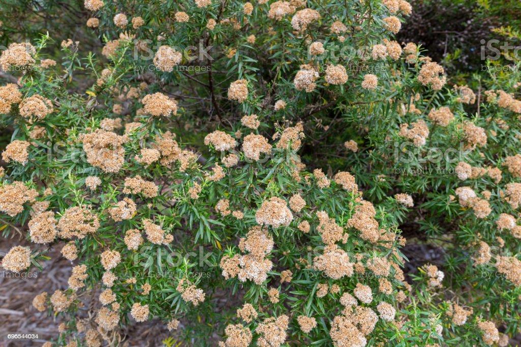 Flowers of tree everlasting shrub, Ozothamnus ferrugineus in Tasmania, Australia stock photo