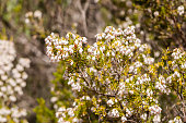 Flowers of Tree Heath, Erica arborea