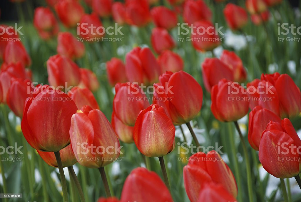 Flowers of tulip among green leaves royalty-free stock photo