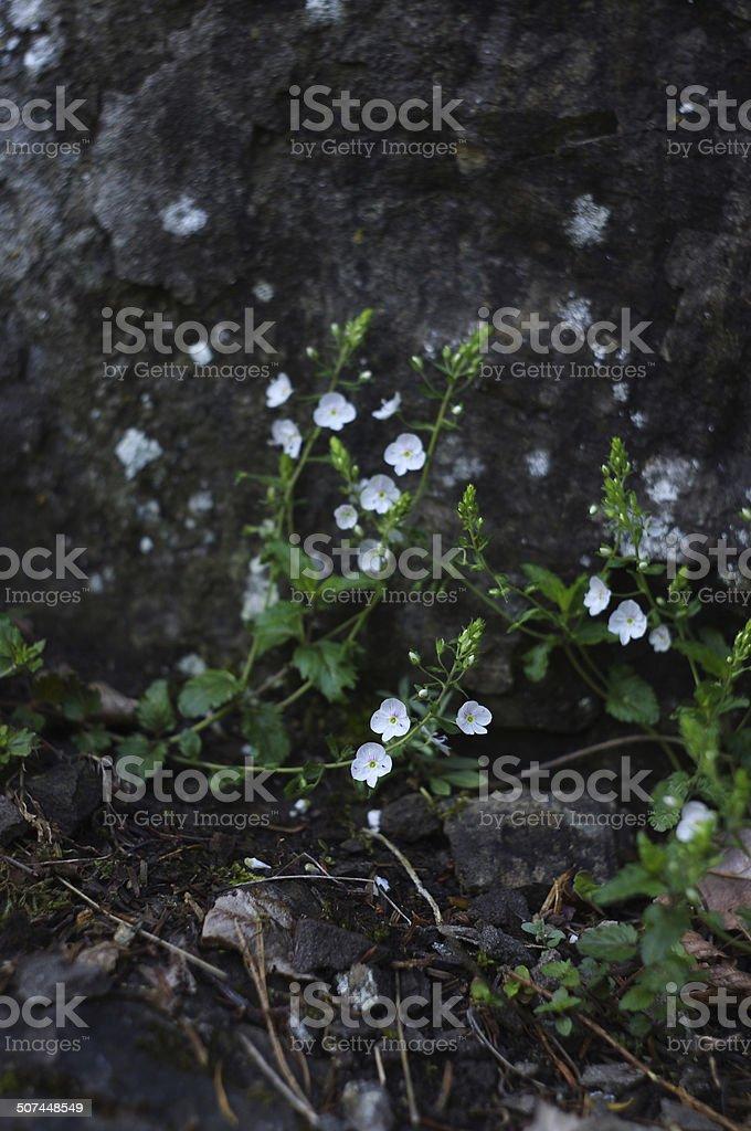 flowers of Veronica chamaedrys near a stone royalty-free stock photo