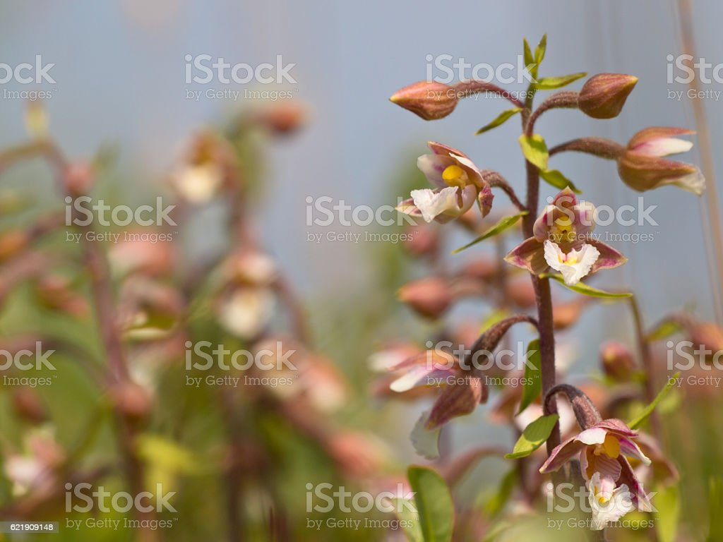 Flowers of wild orchid stock photo