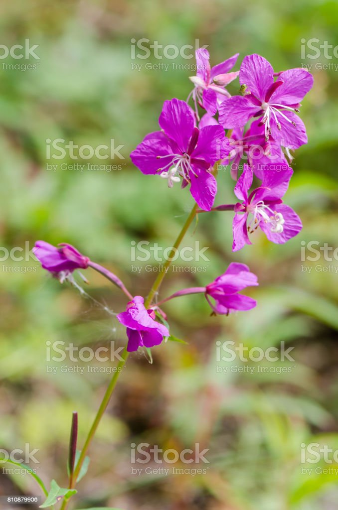 flowers of Willow-herb Ivan-tea on blurred background stock photo