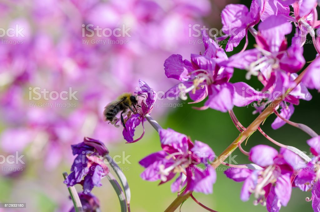 flowers of Willow-herb Ivan-tea on blurred background with bee stock photo