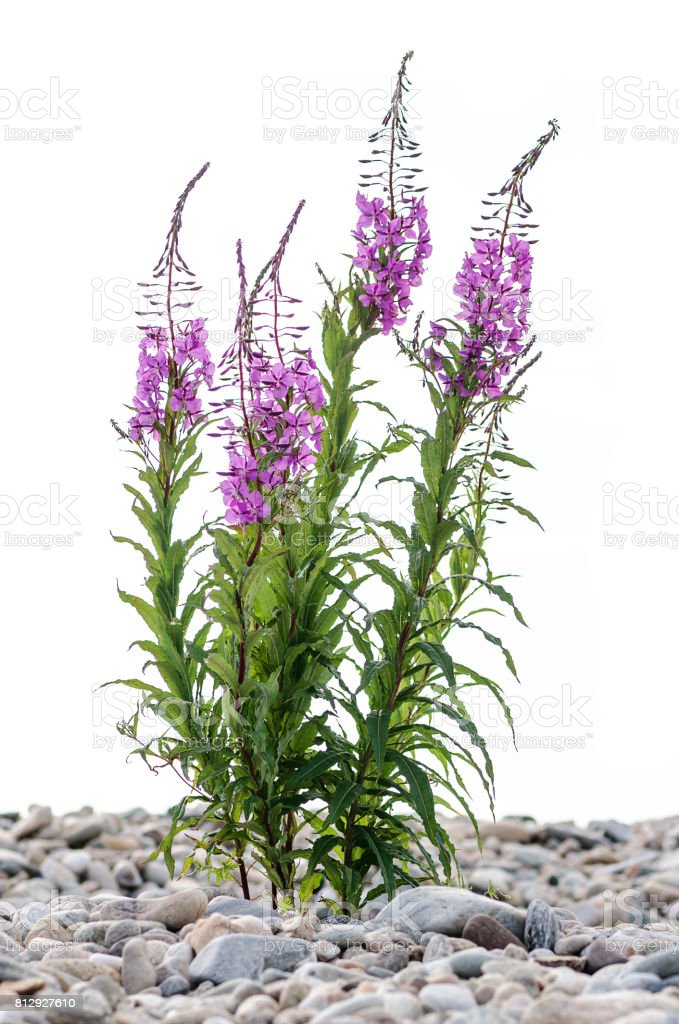 flowers of Willow-herb Ivan-tea on isolated background stock photo