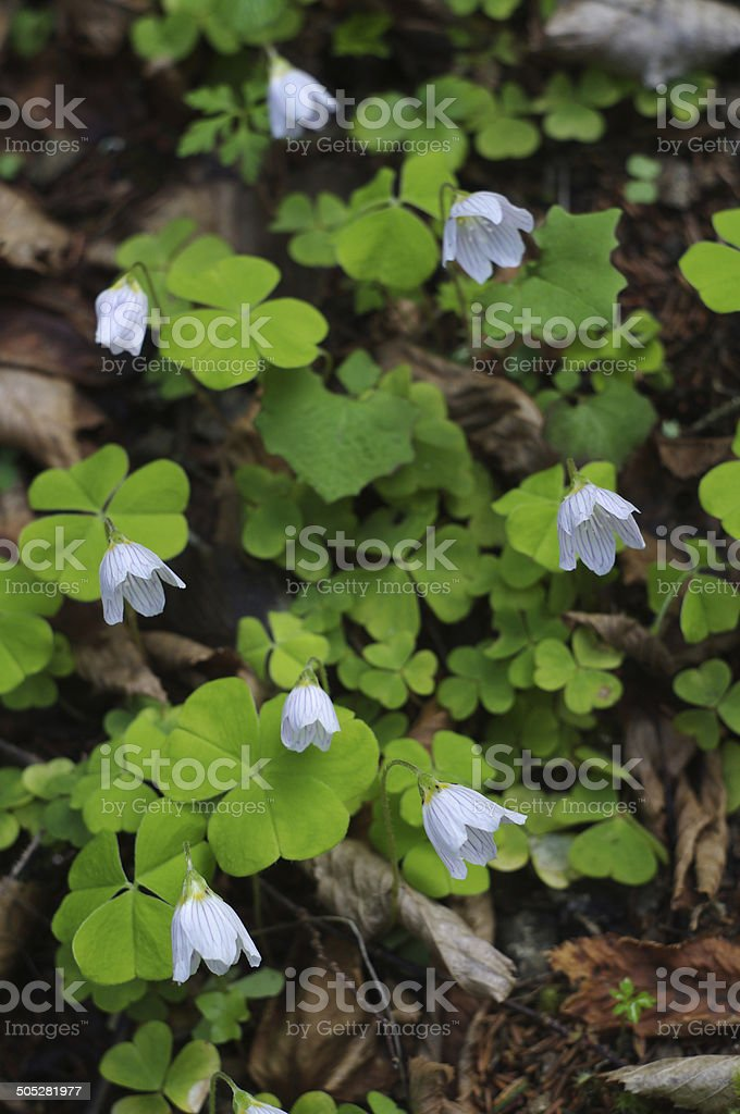 flowers of Wood Sorrel (Oxalis acetosella) stock photo