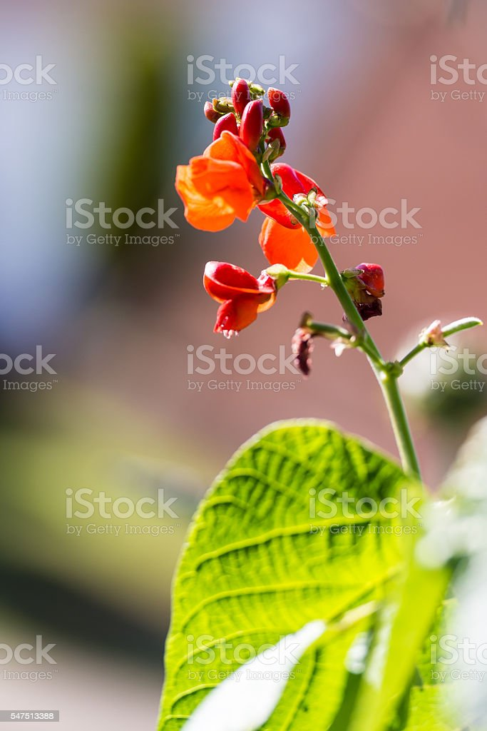 Flowers on a bean plant against a defocused background stock photo