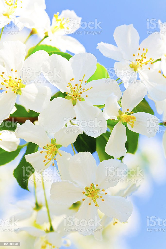 Flowers on an apple tree royalty-free stock photo