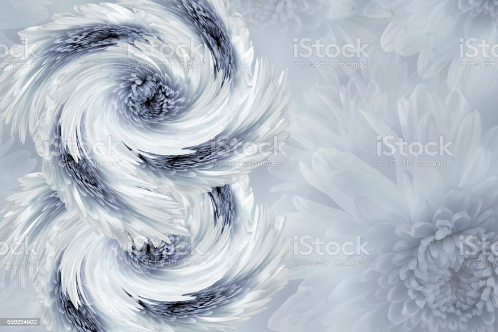 flowers on blurry white-gray background. Blue-white-gray  flowers chrysanthemum.  floral collage.  Flower composition.  March 8.  Nature. stock photo
